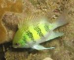 Staghorn Damselfish