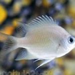 Photo Ternate Damsel, Silver