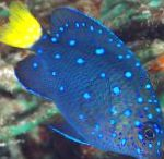 Photo Jewel Damselfish, Blue