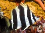 Photo Lord Howe Coralfish, Striped