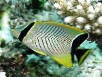 Chevron butterflyfish