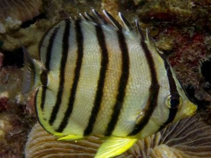 The Info on striped butterfly fish