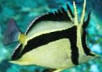 Photo Scythe-mark butterflyfish, Striped