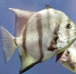 Photo Atlantic Spadefish, Striped