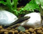 Photo Dwarf Otocinclus, Black