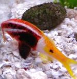 Photo Bicolor goatfish, Motley