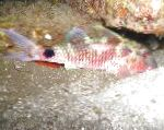 Long-barbel Goatfish