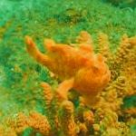 Photo Freckled frogfish, Spotted