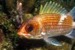 Bilde Bloodspot Squirrelfish, gull