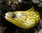 Golden Moray Eel