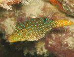 Photo Papuan Toby Puffer, Spotted