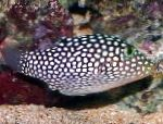 Photo Spotted Puffer (Hawaiian White Spotted Toby), Spotted