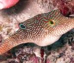 Photo Blue Spotted Puffer, Spotted