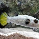 Photo Immaculatus Puffer, White