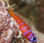 Photo Catalina Goby (Bluebanded Goby), Striped