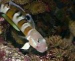 Ward's sleeper (Tiger Watchman Goby)