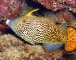 Fantail Orange Filefish