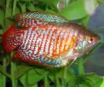 Photo Dwarf Gourami, Striped