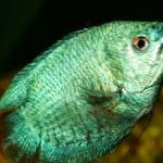 Photo Dwarf Gourami, Green