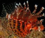 Fuzzy Dwarf Lion Fish