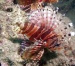 Photo Dwarf/Zebra Lionfish, Striped