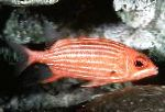 Squirrelfish Triibuline (Squirrelfish Triibulised)