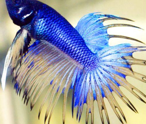 Foto siamesische kampffische blau for Siamesische kampffische