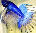 Photo Siamese fighting fish, Blue