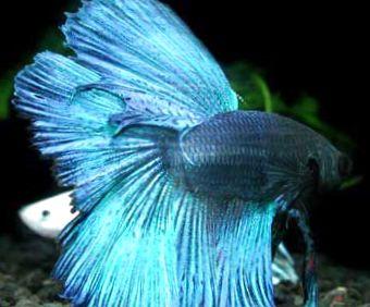 Foto siamesische kampffische hellblau for Siamesische kampffische