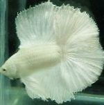Photo Siamese fighting fish, White