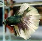 Photo Siamese fighting fish, Motley