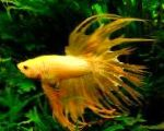 Photo Siamese fighting fish, Yellow