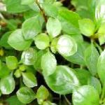 Photo Creeping ludwigia, Narrow-leaf ludwigia, Green
