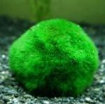 Photo Japanese Moss Ball, Green