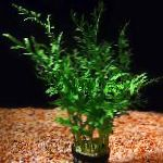 Photo Indian fern, Green
