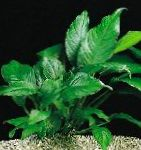 Photo Anubias congensis, Green