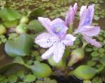 Photo Water hyacinth, Green