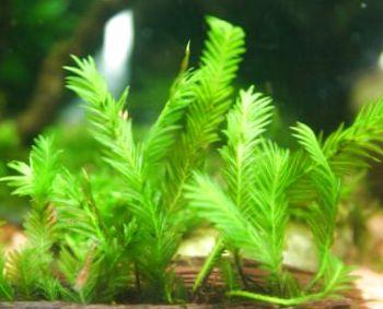 Картинки по запросу fissidens nobilis moss