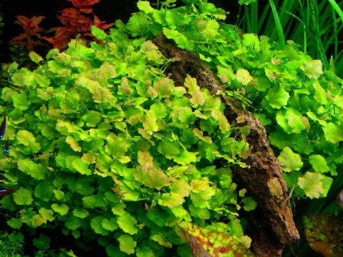 Photo chinese ivy japanese cress green for Japanese pond plants