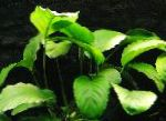 Photo Broad Leaved Anubias, Green