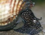 Photo Rabbit Snail Tylomelania, beige Clam