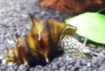 Photo Brotia Pagodula, brown Clam
