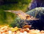 Photo Guinea Swarm Shrimp, brown