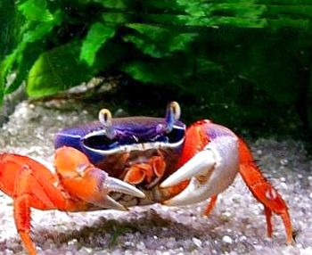Photo Pacific Land Crab Rainbow Crab Red