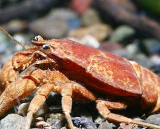 photo cafard crevisses marron crabe. Black Bedroom Furniture Sets. Home Design Ideas