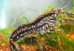 Photo Cambarellus Texanus, black crayfish