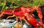 Photo Red Swamp Crayfish, red