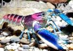 Photo Cherax Hoa Creek, blue crayfish