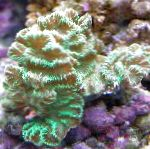 Photo Merulina Coral, green