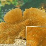 Photo Merulina Coral, yellow